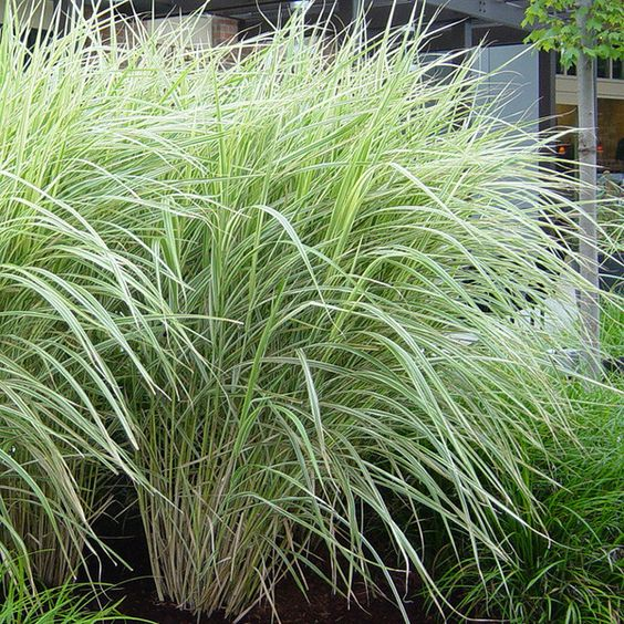 Grasses silver and the emerald on pinterest for Variegated ornamental grass