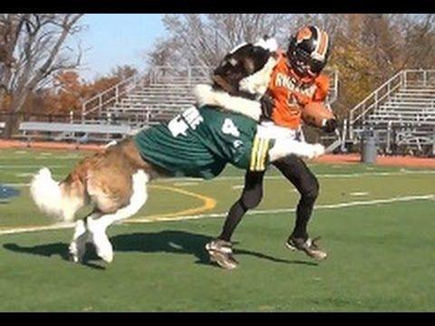 Jub Jub Vs Nate Football Youtube St Bernard Dogs Nfl Fans