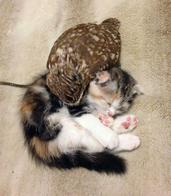"""Fuku the owlet and Marimo the kitten are an adorable pair of best friends that love to hang out, play together and nap at their home in Hukulou coffee shop in Osaka, Japan."""