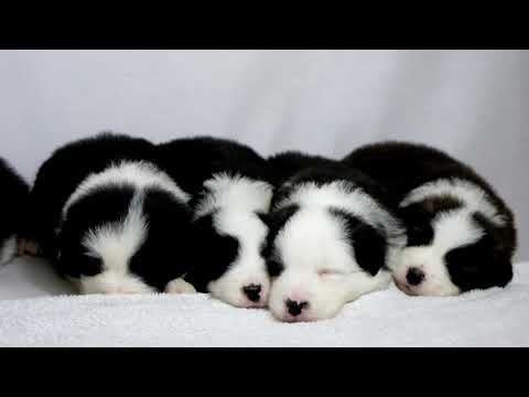 Border Collie Puppies Youtube Collie Puppies Border Collie Puppies Puppies