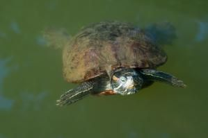 Turtle floating in pond - Tsuneo Yamashita/Taxi Japan/Getty Images