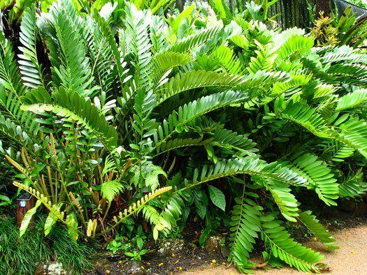 Pinterest the world s catalog of ideas for Planta ornamental zamia