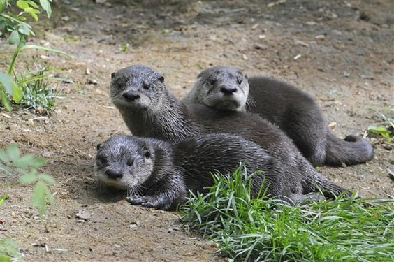 Significant otters: Three North American river otters are born in Brooklyn (Julie Larsen Maher)