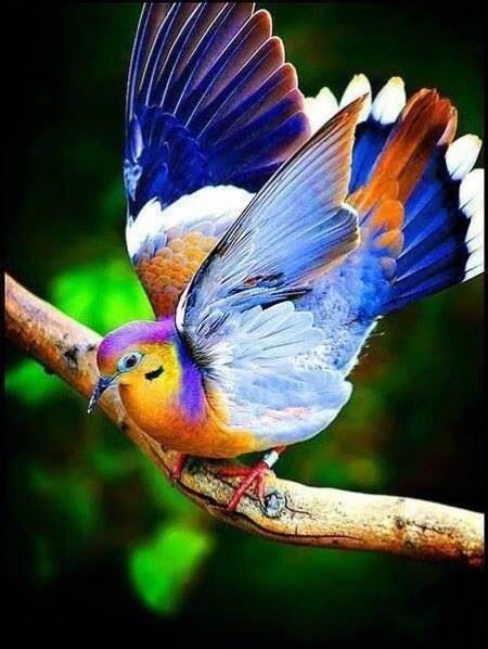 My next tattoo....fruit dove.
