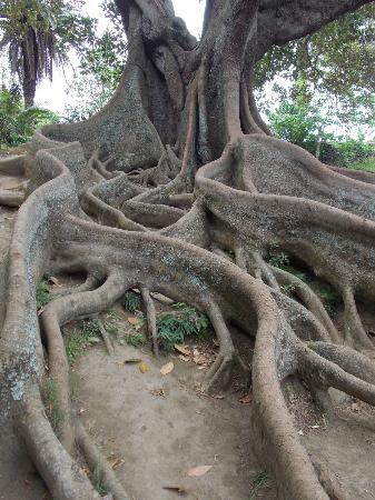 Ficus in Ponta Delgada