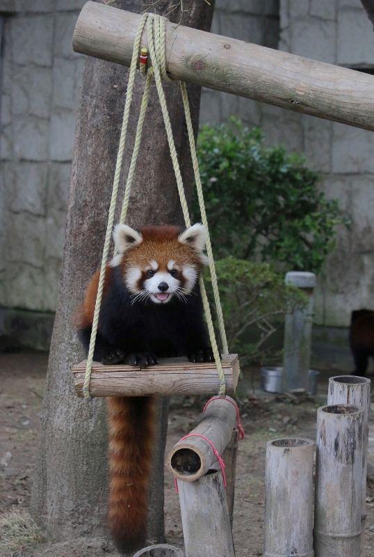 レッサーパンダ遊具に乗って可愛い姿