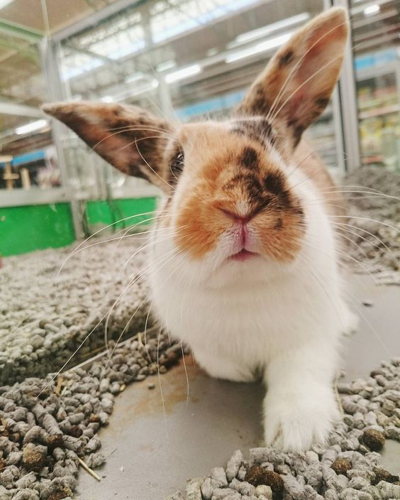 Hello my friends.  Wishing you all a good night. Today was a good Day!  #cute #rabbit #bunniesofinstagram #rabbitsofinstagram #bunny #love #bunnies #pet #rabbitstagram #petstagram #rabbits #bunniesworldwide #rabbitsofig #animal #animals #bunnylove #rabbitsworldwide #nature #bunniesofig #petsagram #rabbitworldwide #rabbitworld #instabunny #pink #adorable #minilop #hollandlop #bunstagram #baby #petsofinstagram by martinemooijenkind