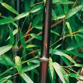 Bambou moyen : Phyllostachys nigra (pour mémoire sur le nom). Résiste jusqu'à -20°C, les tiges deviennent noir ébène.