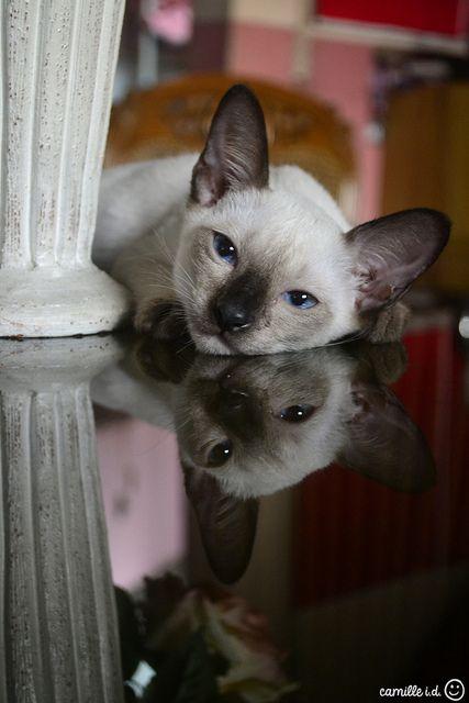 Loki, the Siamese cat *kitten* - my childhood Siamese cat was named K.C.