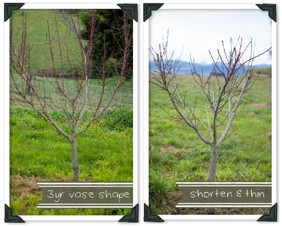 Trees home and almonds on pinterest - Spring trimming orchard trees healthy ...