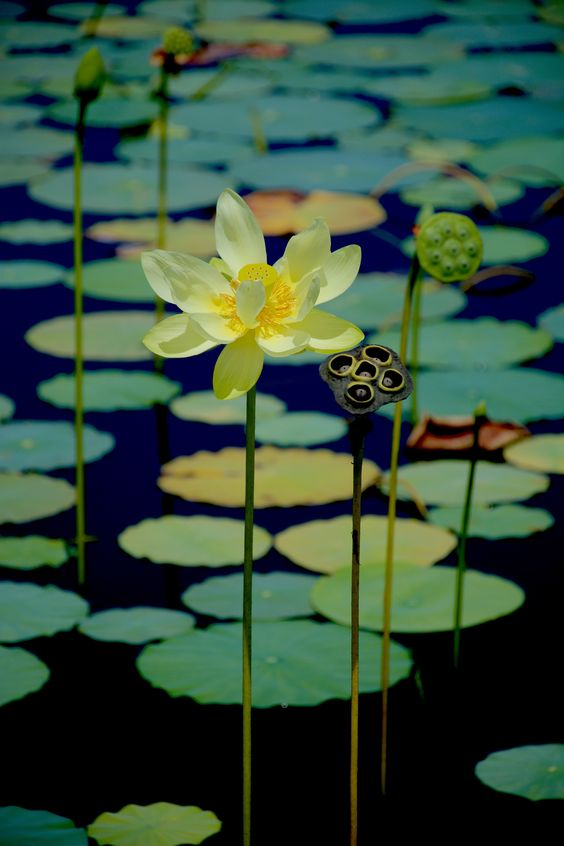 The lotus is the largest native blossom in North America. Photo by Green Deane