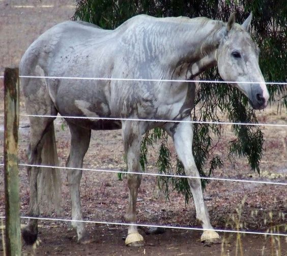 I'm not sure if she's a rare brindle grey Thoroughbred...or she's just wet...or both...regardless, she's GORGEOUS!