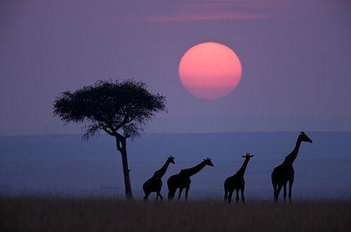 Sunset giraffes.