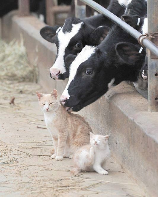 Awww this is adorable , amazing the cat didn't claw out the cows eye -Nikki