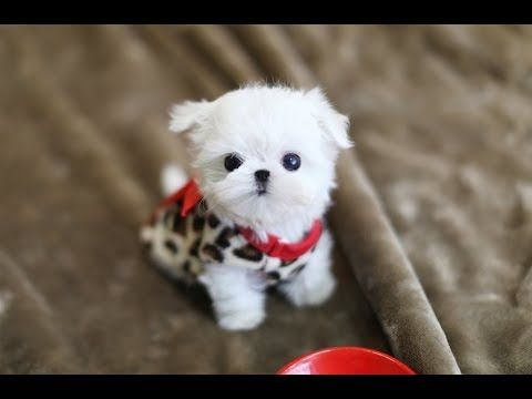 Must Watch Look How Cute This Maltese Is Teacup Puppy Youtube Teacup Puppies Teddy Bear Puppies Cute Dogs And Puppies