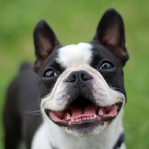 These Short Haired Dogs Make For Low Maintenance Pets Short Haired Dogs Dog Breeds Boston Terrier