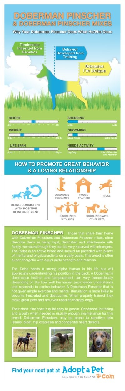 Everything you ever wanted to know about Doberman and Doberman mixes. www.adoptapet.com