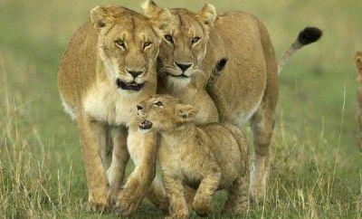 Familiereis Kenia  Met het hele gezin op zoek naar deÓBig FiveÓ tijdens een safari in Kenia spannender en leuker kan een rondreis eigenlijk niet zijn! Kenia is een van de meest afwisselende landen en daarom uitermate geschikt ook voor de allerkleinste onder ons. De afstanden tijdens deze leuke safari zijn niet heel groot evenals de bijbehorende reistijden. Met andere woorden een ideale safari waarbij zowel u als uw kinderen kunnen genieten van een mooie reis terwijl u Òoog in oogÓ komt te…