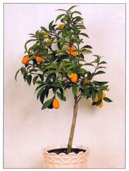 Merlin wants this indoor kumquat tree apartamento for Plante kumquat