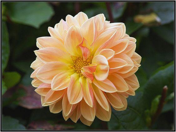 Peach flower by GunnerX, via Flickr