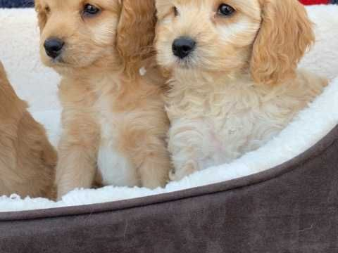 Red And Apricot Cockapoo Puppies Cockapoo Puppies Cockapoo Puppies