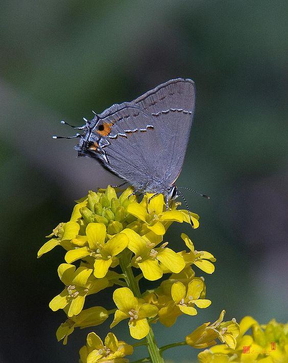 ✯ Gray Hairstreak Butterfly