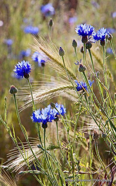 Le bleuet ❧ L'été à la campagne ❧
