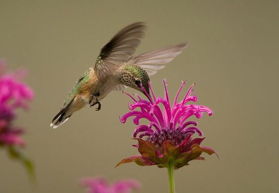 Bee balm flowers are magnets for hummingbirds, butterflies, and bees.
