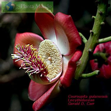 Amazon native - flowers sprout from the tree trunk! Abricó de Macaco - Cannonball Tree - Couroupita guianensis - Planta Mundo