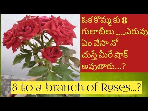 How To Grow Rose Plant At Home In Telugu With Tips Youtube Planting Roses Rose Plants