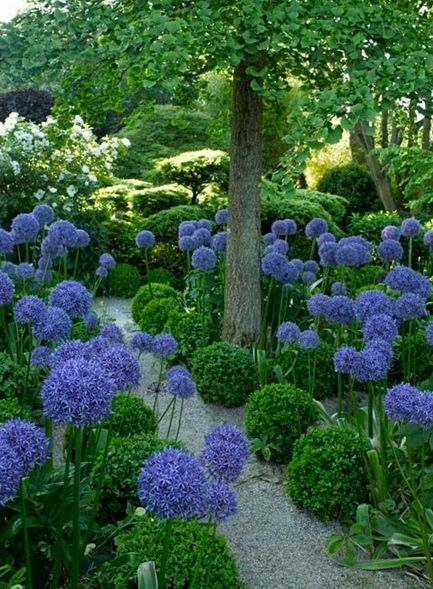Agapanthus - beautiful! I love agapanthus. And love them with these rounded ?Boxwoods.: