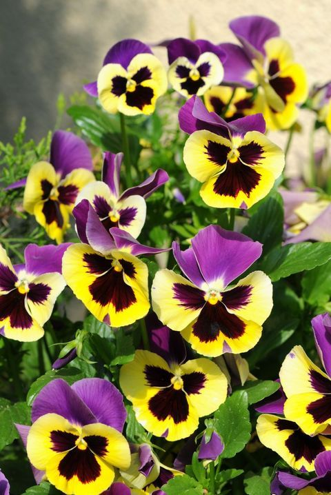 The Surprising Meanings Behind Your Favorite Flowers In 2020 Pansies Flowers Flower Meanings Popular Flowers