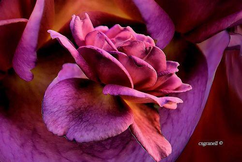 Rosa sobre Rosa