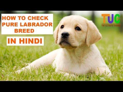 How To Check Pure Labrador Breed In Hindi Know Your Breed In