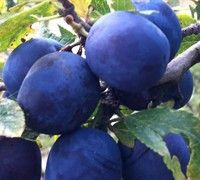 Blue Damson Plum - (Prunus domestica <a href='/Plants/3288/Fruit-Trees/Blue-Damson.html'>'Blue Damson'</a>) - Fruit Trees