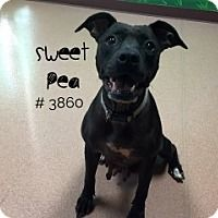Sweet Pea - URGENT -  Alvin Animal Adoption Center in Alvin, Texas - ADOPT OR FOSTER - Adult Female Lab Retriever/Pit Bull Mix