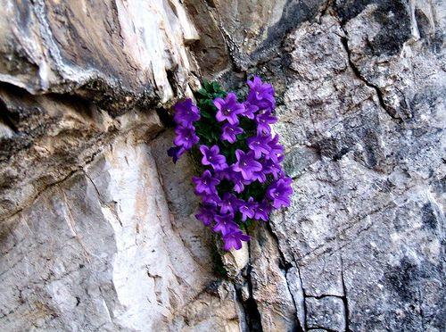 Campanula morettiana (Alpine bellflower) Trentino  #TuscanyAgriturismoGiratola