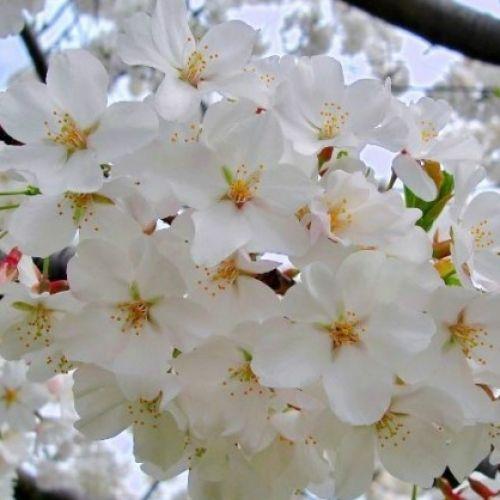 Prunus Yedoensis H W 1 5m Ornamental Trees Growing Tree Deciduous Trees