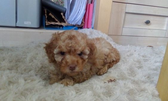Cavapoo Puppies For Sale Canvey Island Essex Pets4homes Cavapoo Puppies Cavapoo Puppies For Sale Puppies For Sale