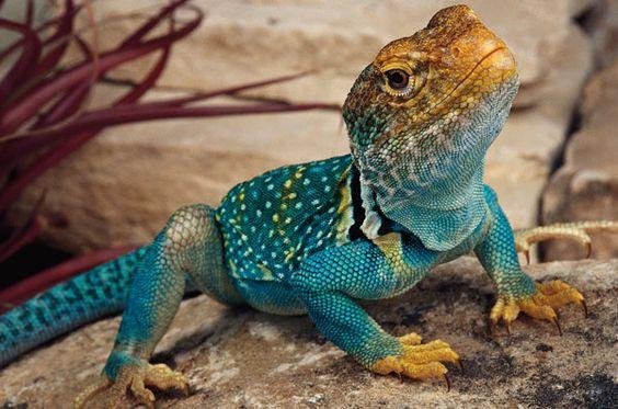 U S Lizard Collared lizard...