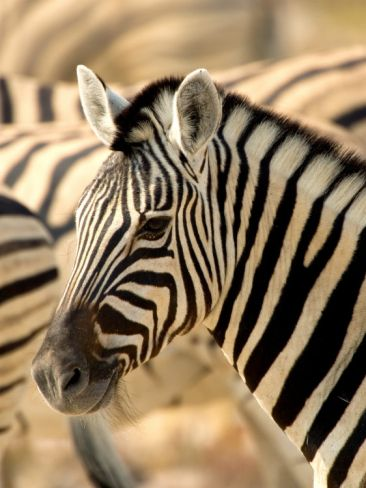 Zebra at Namutoni Resort, Namibia Photographic Print by Joe Restuccia III at Art.com