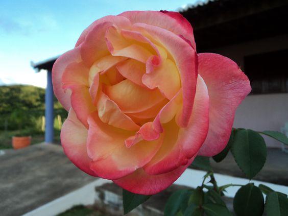 Rosa da Lagoa Nova