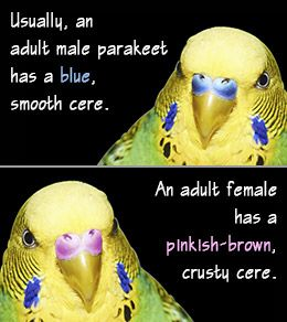 How To Tell The Difference Between A Male And A Female Parakeet Parakeet Bird Parakeet Budgies Bird