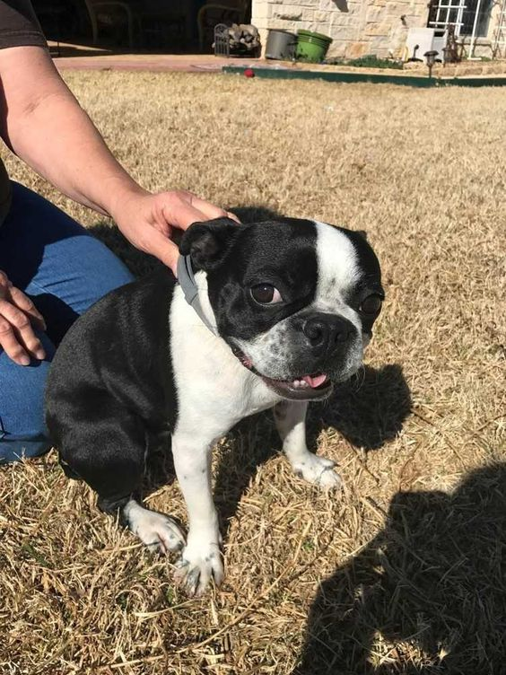 Susie is an adoptable Boston Terrier searching for a forever family near San Angelo, TX. Use Petfinder to find adoptable pets in your area.