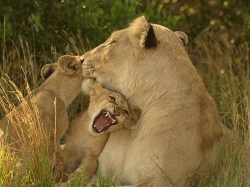The mother is very loveable and patient to the little ones. She doesn't get angry when they play with her tail or ears.