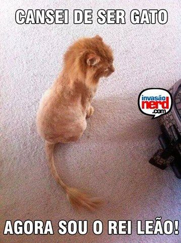 Shaved cat looks like a tiny lion
