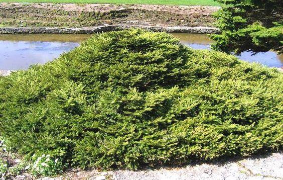 Repens       Высота/ширина взрослого растения: 0,3/1,5 м (медленнорастущая) Годовой прирост в высоту/ширину: 3/5 см Форма кроны: стелющаяся Ель. Виды и сорта - Cадовый центр Солнечный, Екатеринбург