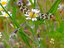 Nemoptera bipennis is a species of insect in the family Nemopteridae or spoonwings. It is found in Spain, Portugal and France.