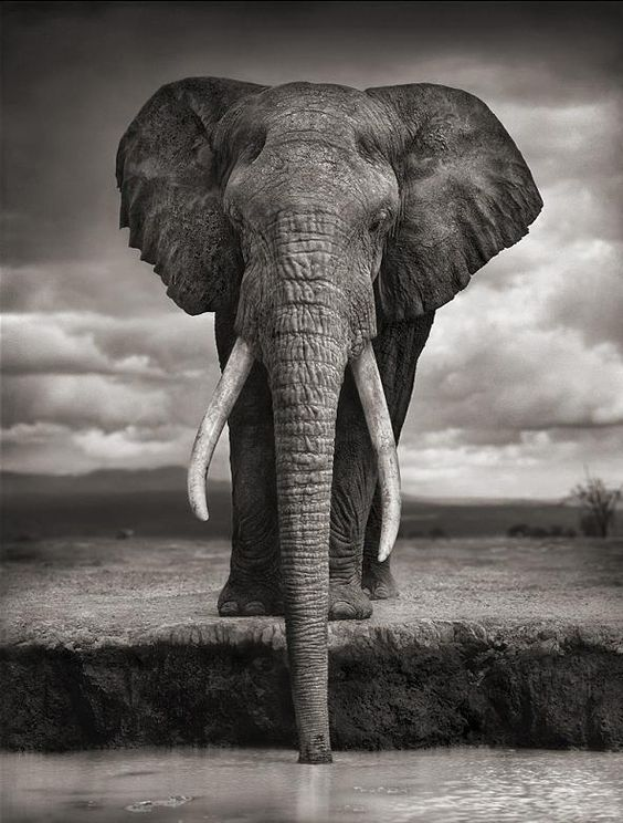 Nick Brandt. Elephant drinking, Amboseli, 2007. Killed by Poachers, 2009.