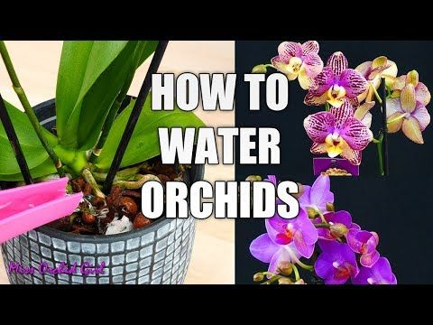 11456 Orchid Care For Beginners How To Water Phalaenopsis Orchids Youtube Orchid Care Phalaenopsis Orchid Phalaenopsis Orchid Care